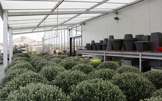 Mimosa - Planten